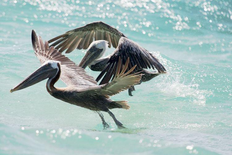 Pelicans flying over sea
