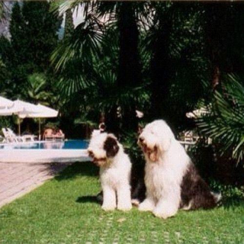 Goldie & Xantho in Riva, Italy Bobtail Bobtails OES Italy riva garda oldenglishsheepdog friends love
