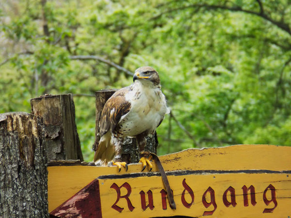 "I assume that this is a ferruginous hawk at the falconry at Tierpark Tripsdrill, sitting on a ""tour this way"" sign. Buteo Regalis Falconry Ferruginous Hawk Hawk Rundgang Sign Animal Themes Animal Wildlife Animals In The Wild Bird Bird Of Prey Close-up Day Focus On Foreground Full Length Nature No People One Animal Outdoors Owl Perching Text Tree Wood - Material Wooden Post"