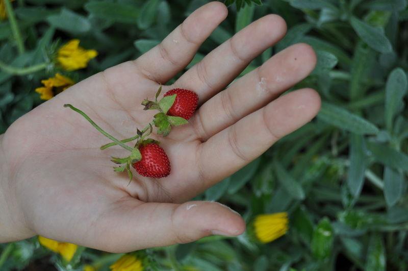 Strawberries Nature Fruit Hand Naturelovers Morangos