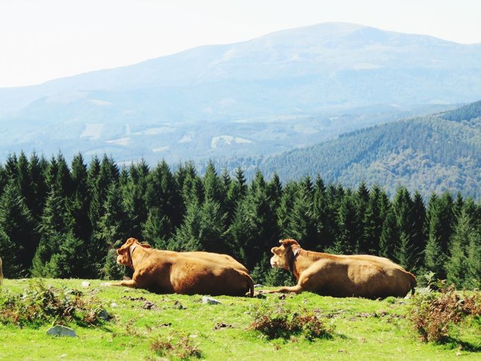 cows chilling out 🤪 Tree Mountain Forest Snow Animal Themes Sky Grass Landscape Mountain Range Cow Farm Animal Moose Grizzly Bear Domesticated Animal Tag Pasture Livestock Highland Cattle Antler