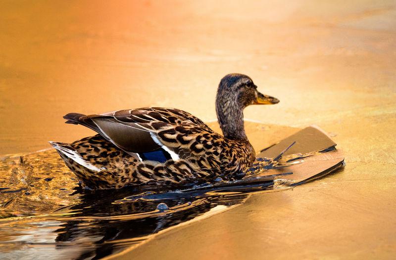 Mallard duck in water