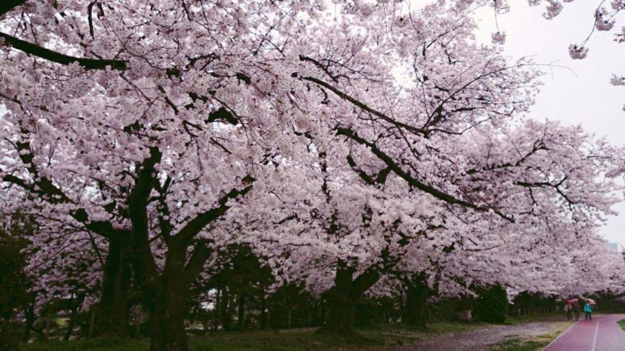 Sakura Cherry Blossoms Season  Spring Walking Around Park