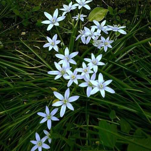 цветочки белые_цветочки цветы зірочки зелень  Flowers Spring