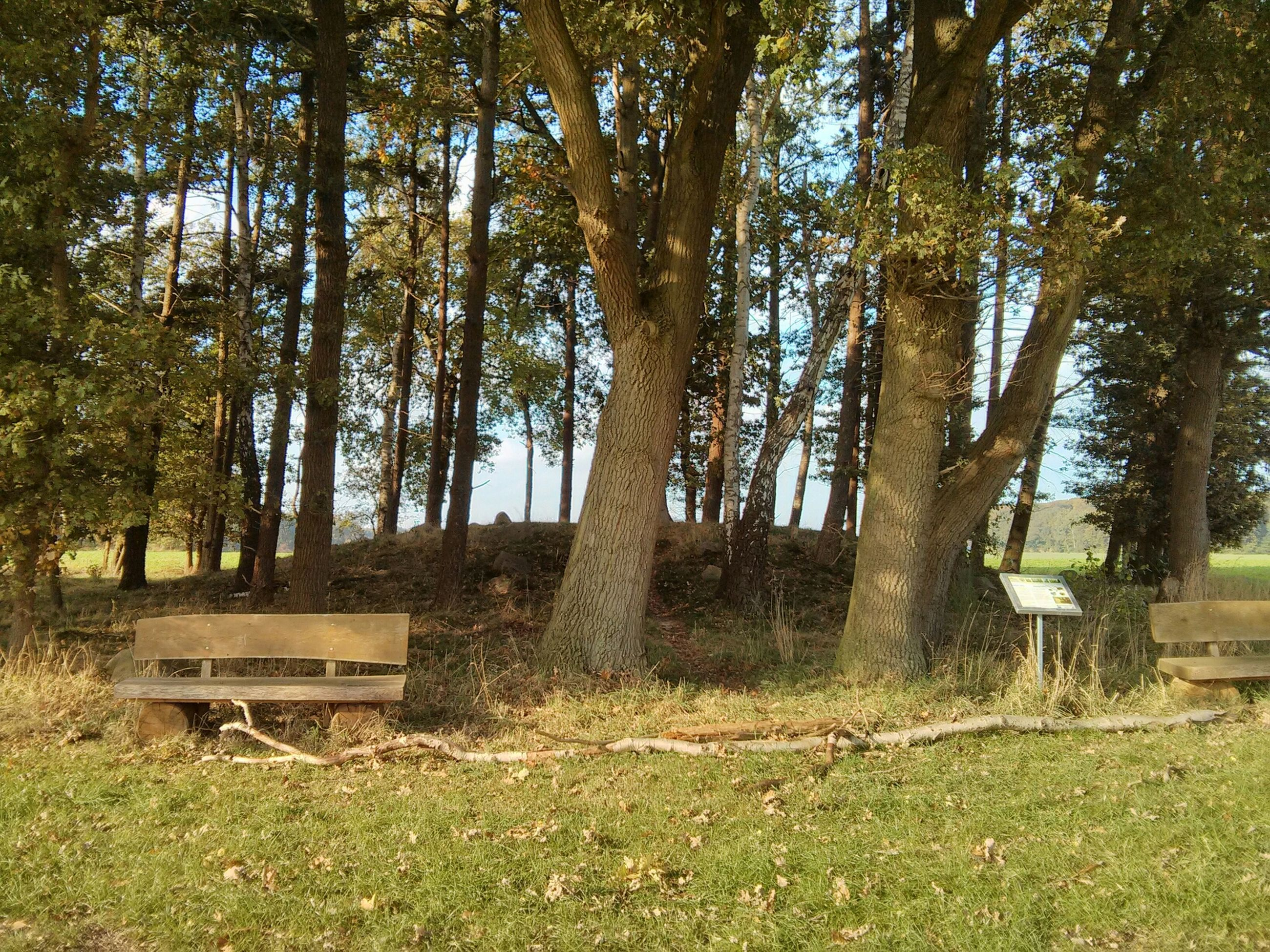 tree, tree trunk, tranquility, growth, tranquil scene, grass, nature, scenics, forest, beauty in nature, branch, green color, bench, landscape, woodland, day, field, non-urban scene, outdoors, park - man made space