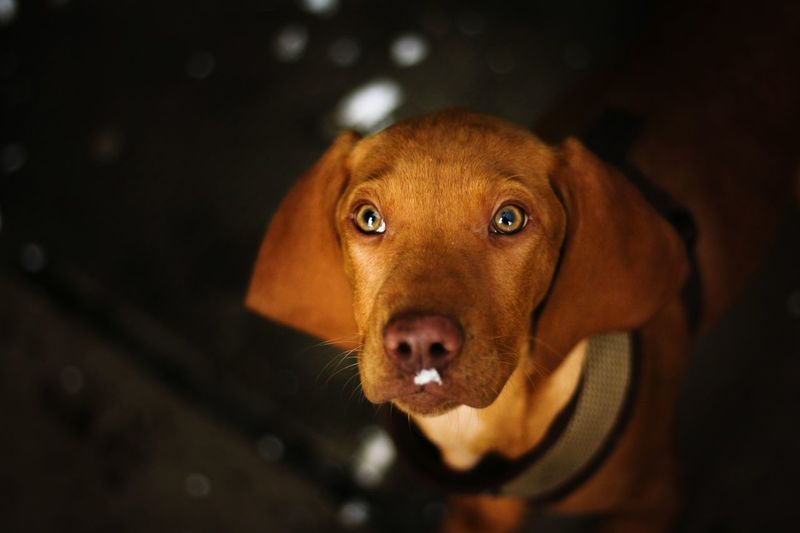 Rodesianridgeback Puppy Welpe Schnee Snowdog Animal Body Part Portrait Brown Close-up No People Outdoors