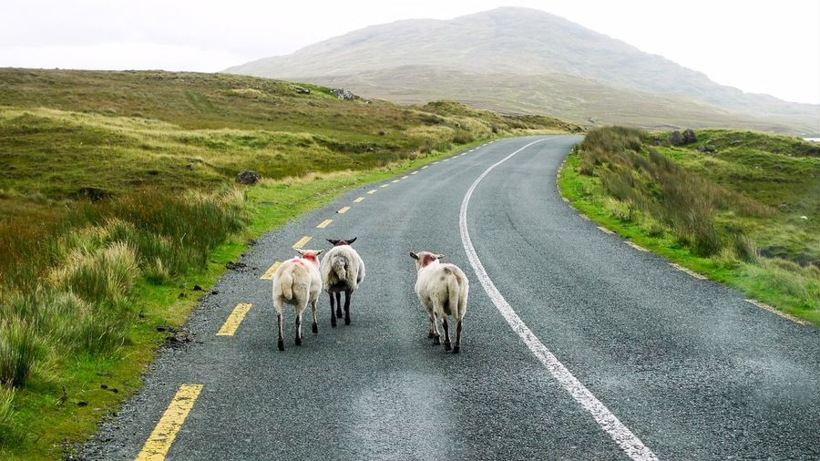 Animal Themes Asphalt Composition Diminishing Perspective Domestic Animals Exploring Grass No People Perspective Road Sheep The Way Forward Ireland Nature's Diversities Found On The Roll On The Way Summer Road Tripping Mountain Road Country Road Flock Of Sheep Countryside White Line