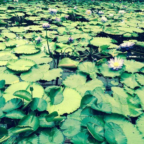 蓮の葉 スイレン 睡蓮 花 葉 自然 Flower