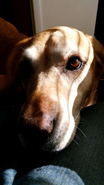 My baby EyeEm Labrador Retriever Pet Photography  EyeEm Best Shots EyeEm USA  Shootermag Photography I Love My Dog
