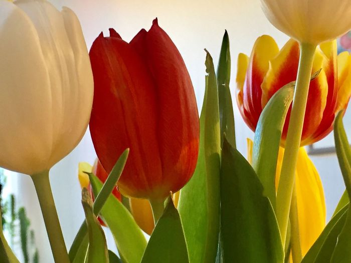 Tulip Flower Beauty In Nature Spring Flowers red Plant Flower Head Nature Growth Petal Fragility Freshness Red Blooming Close-up Tulip Day No People Leaf Yellow Outdoors
