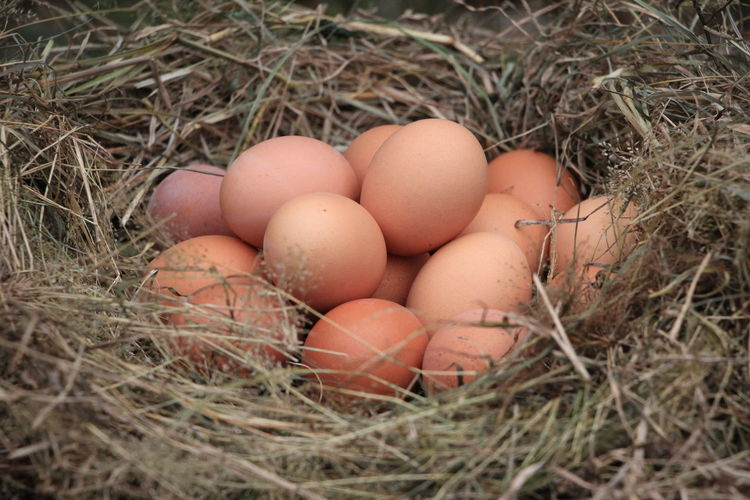 fresh eggs from the farm Egg Food Food And Drink Nature Fragility Animal Egg Freshness Healthy Eating Animal Nest Plant Wellbeing Close-up Selective Focus Outdoors Hen Eggs Farm Farmland Concept Healthy Food