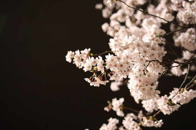 Close-up of white cherry blossom against black background