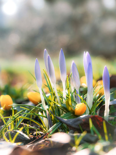 Growth Plant Freshness Flower Beauty In Nature Flowering Plant Close-up Vulnerability  Fragility Selective Focus Nature Field Day Land Crocus No People Sunlight Petal Iris Outdoors Flower Head