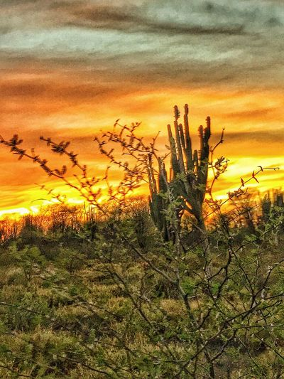 Sunset on the desert Cactus Cat's Claw Sunset Nature Growth Sky Beauty In Nature No People Plant Outdoors Tranquility Landscape Scenics Tranquil Scene