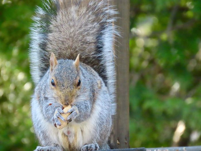 EyeEm selects squirrel closeup animal themes outdoors eating peanuts focus on the foreground greenery in the background beauty in nature EyeEm Selects Animal Themes Rodent One Animal