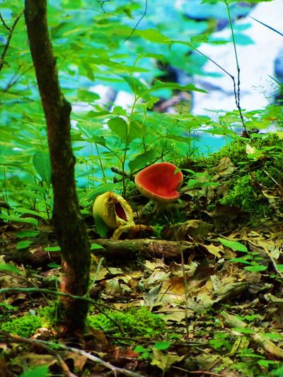 Red Fungi in the Woods Beauty In Nature Close-up Day Focus On Foreground Fragility Fungi Grass Green Green Green Color Growing Growth Leaf McCormick's Creek Nature No People Outdoors Plant Plants Red Red Selective Focus Stem Tranquility Woods The Great Outdoors - 2018 EyeEm Awards