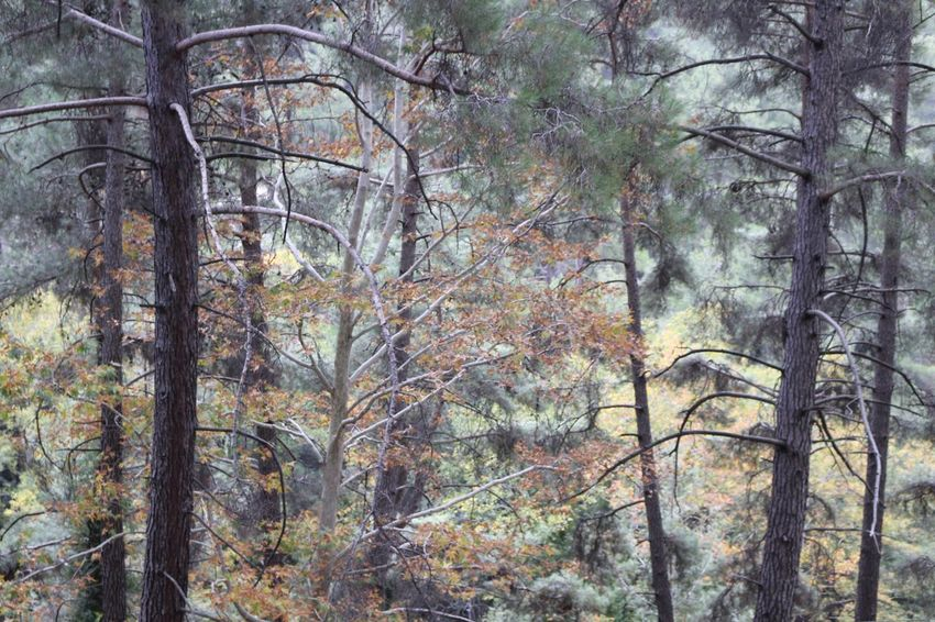 Tree Pine Tree Forest Autumn Autumn Colors Nature Leaves Platres Troodos Limassol Cyprus No People Nature Photography Naturelovers Nature Beauty Nature_collection Natural Beauty Wild Plant Green Color Forest Photography Forest Trees Forestwalk Forestphotography Nature_perfection Naturephotography