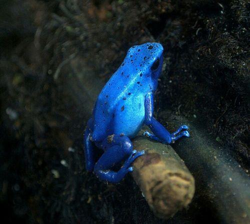 Frog Blueposionarrowfrog Arrowfrog Blue BlueFrog Posion