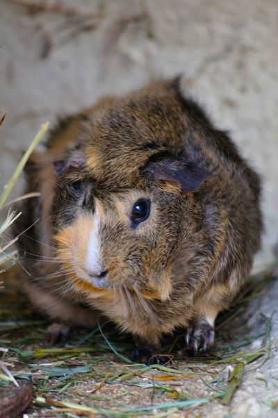 Animal Themes Close-up Day Guinea Pig Guineapig Mammal Nature One Animal