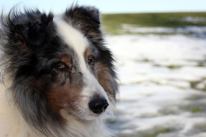Sammy Animal Themes Blue Merle Blue Merle Dogs Blue Merle Sheltie Can Close-up Cold Temperature Cold Weather Day Dog Domestic Animals Mammal Nature No People One Animal Outdoors Pet Pets Portrait S Sheepdog Sheltie Weather Winter