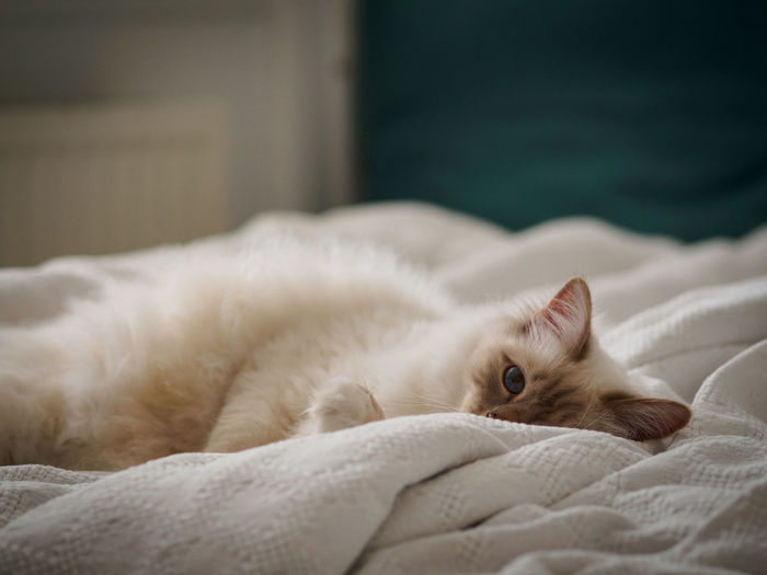 Photos from Copenhagen Animal Animal Head  Cat Close-up Comfortable Cute Domestic Animals Domestic Cat Feline Focus On Foreground Home Lying Down Mammal No People Pets Portrait Relaxation Relaxing Resting Selective Focus Sofa Whisker White White Color Zoology