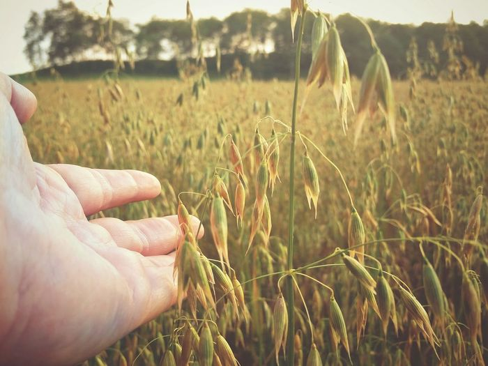 Close-up of hand holding wheat on field
