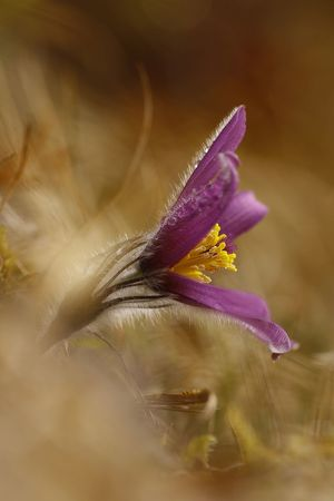 Pulsatilla vulgaris Beauty In Nature Close-up Day Flower Flower Head Fragility Freshness Growth Nature No People Outdoors Petal Selective Focus