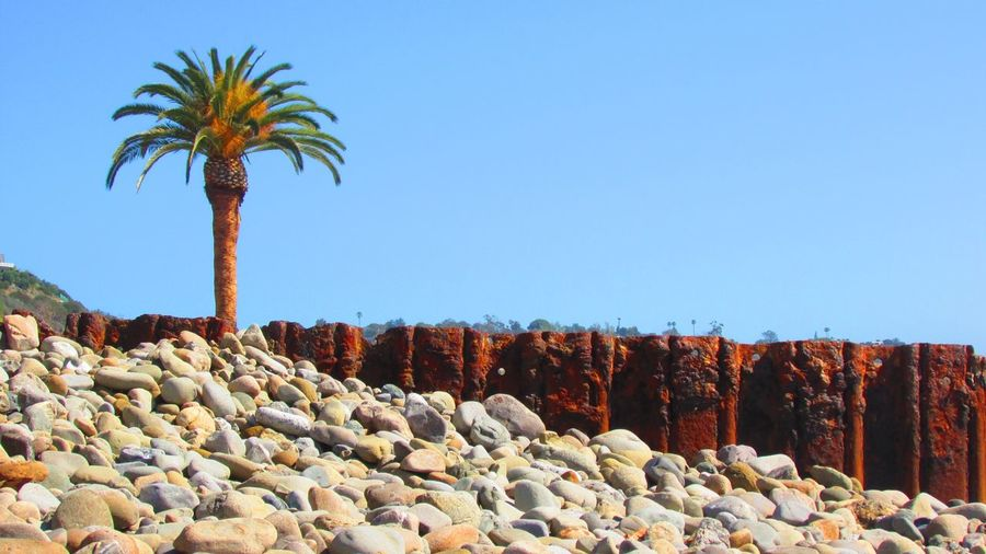 Date palm tree at shore against clear blue sky