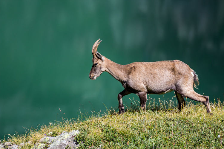 Side view of goat walking on field