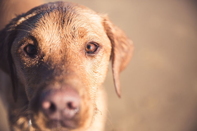 A close up of a pet labrador retriever dog focusing on its brown eyes with copy space
