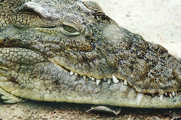 Crocodile (Hammamet Park, Tunis) Crocodile Hammamet Tunis Eye Animals Photography Nature