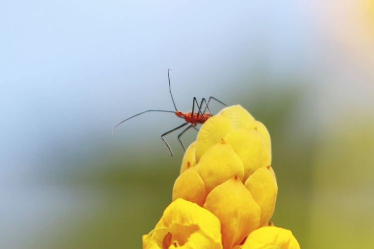 Assassin Bug. Against The Sky Insects  Assassin Bug Popular Photos EyeEm Gallery My Original Photo Canonphotography Nature Photography Nature_collection EyeEm Best Shots Autumn Fall Beauty Popcorn Cassia EyeEm Selects Flower Full Length Perching Yellow Red Insect Close-up Animal Themes Animal Leg