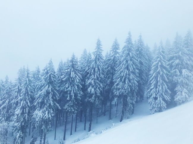 Snow Snow Winter Cold Temperature Tree Plant Scenics - Nature Tranquil Scene Beauty In Nature Tranquility Coniferous Tree Forest Frozen Environment Pine Tree No People Non-urban Scene Outdoors Land Nature White Color