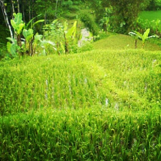 Imagine having paddy field as your backyard Wonosobo Java INDONESIA Nature Webstagram Photowall Instagood