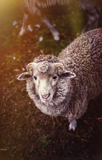 Sheep Animal Animal Head  Animal Themes Animal Wildlife Day Domestic Domestic Animals Field Focus On Foreground Herbivorous Land Livestock Looking At Camera Mammal Nature No People One Animal Pets Portrait Sheep Standing Vertebrate