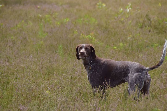 sometimes her lips stuck in her muzzle and i love her face just like this☺️ I Love My Dog Dog German Shorthaired Pointer Dog Lover Dogs Of EyeEm One Animal Animal Themes Outdoors Looking At Camera In The Field Pause Playing Funny Face Portrait My Girl My Bestfriend Nikon