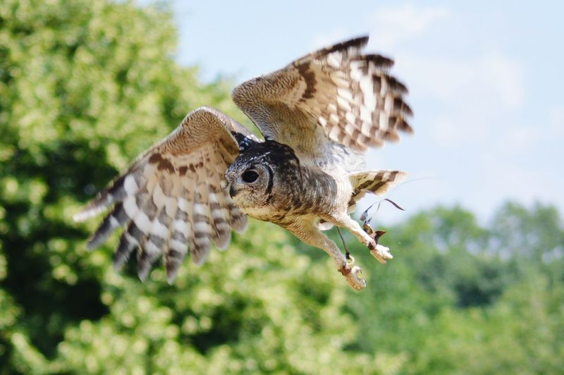 Low Angle View Of Abysinnian Eagle Owl Flying Against Trees