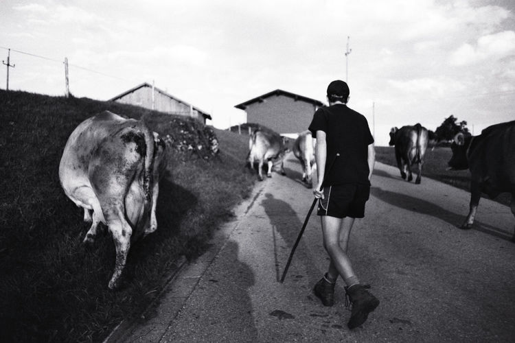 Black And White Cows Domestic Animals Film Germany Mammal Outdoors Road Shepherd Monochrome Photography