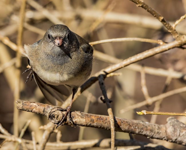 Dark-eyed junco in a stare down with me. Junco Passeriformes Animal Animal Themes Animal Wildlife Animals In The Wild Bird Branch Dark-eyed Junco Junco Hyemalis Nature No People One Animal Ornithology  Outdoors Perching Selective Focus Tree Twig