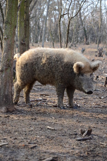 Pig On Field At Forest