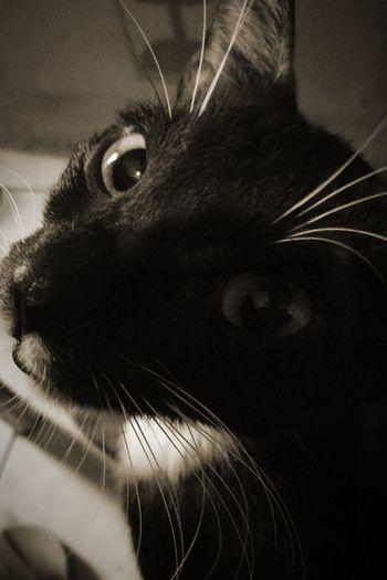 BLackCat Catscratch Littlefella Itim Littleballoffur Purr Purrfect