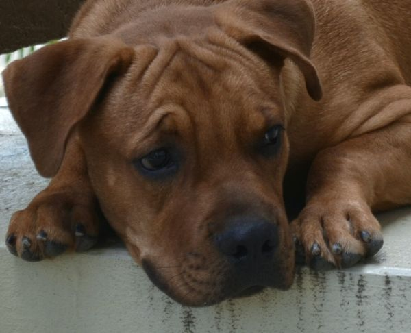 Tyrion @ 6 months Puppy Love Puppy Mastiff Mixed Breed Awww So Cute <3 Sad Face Puppy Eyes