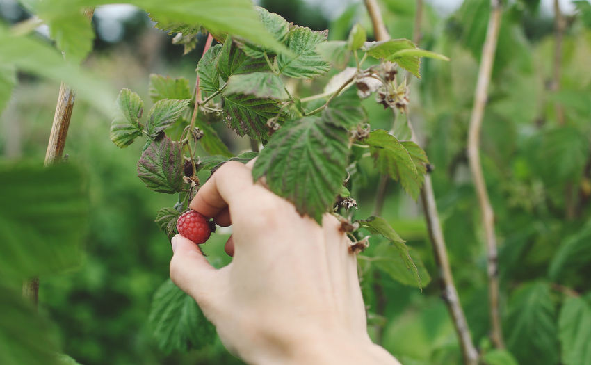 Cropped Hand Holding Raspberry On Plant