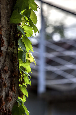 Backlight Beauty In Nature Botany Close-up Day Focus On Foreground Green Green Color Growing Growth Ivy Landscape Leaf Leaf Vein Leaves Natural Pattern Nature No People Outdoors Pillar Plant Selective Focus Seonyudo Seonyugyo Tranquility