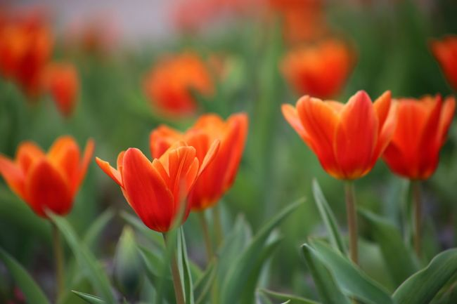 Flower Bed Growth Spring Spring Flowers Landscape Fragility Zen Spa Tulips Tulips🌷 Red Color Freshness Red Tulips Beauty In Nature Nature Tulipa Kaufmanniana Love Symbol Flower Present Tulipano Rosso Delicate Flowers Rote Tulpen Branch Springtime Valentine's Day