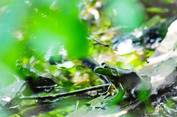 Schaumburg Il Schaumburg Frog Frog Perspective Frog Pond Fine Art Photography Green Green Leaves Green Color Showcase July Color Of Life Color Palette Eyemphoto