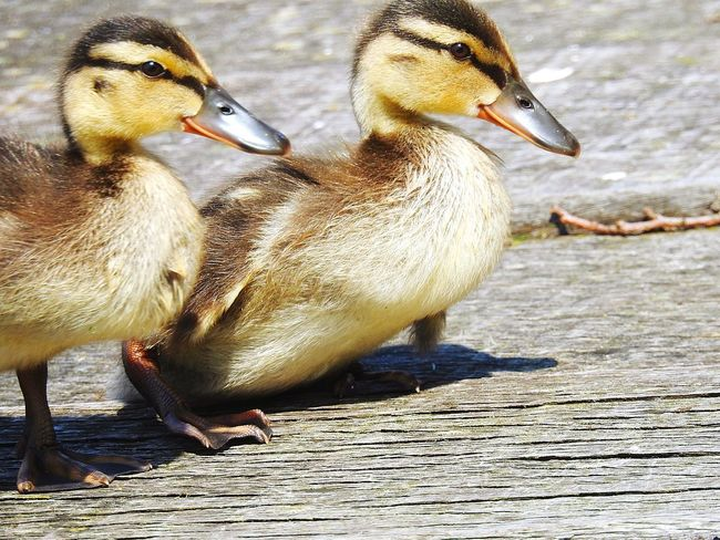 Bird Animals In The Wild Young Bird Animal Themes Animal Wildlife Young Animal Lake Togetherness Water Day No People Beak Outdoors Nature Close-up Live For The Story EyeEmNewHere Duck Baby Duck Ducks Wood Looking At Camera Duckling The Great Outdoors - 2017 EyeEm Awards Paint The Town Yellow