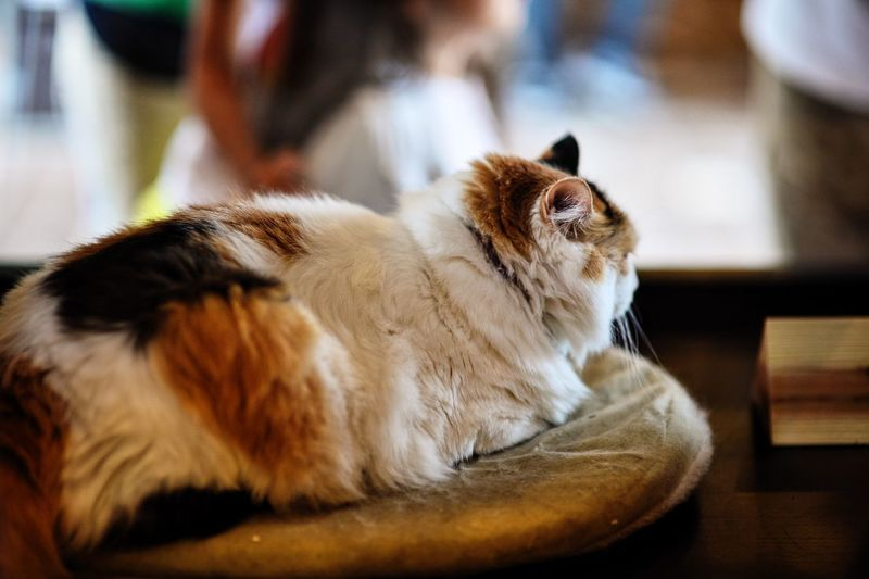 Animal Themes Close-up Day Domestic Animals Domestic Cat Feline Indoors  Mammal No People One Animal Pets