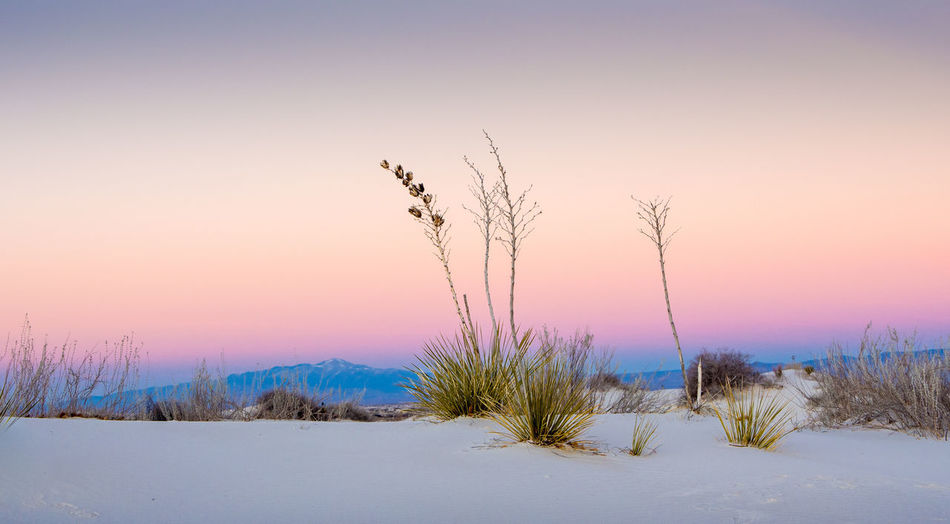 Plants on snow covered field against sky during sunset