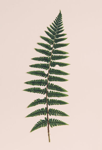Close-up of fern leaf. Beige Background Close-up Fern Green Leaf Nature No People One Plant Studio Shot